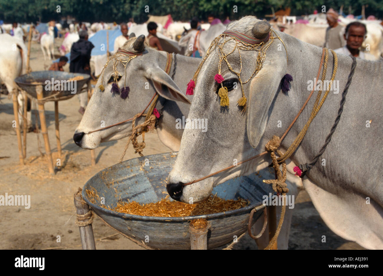 Cattle for sale at the Sonepur Mela, Sonepur, Bihar, India - Stock Image