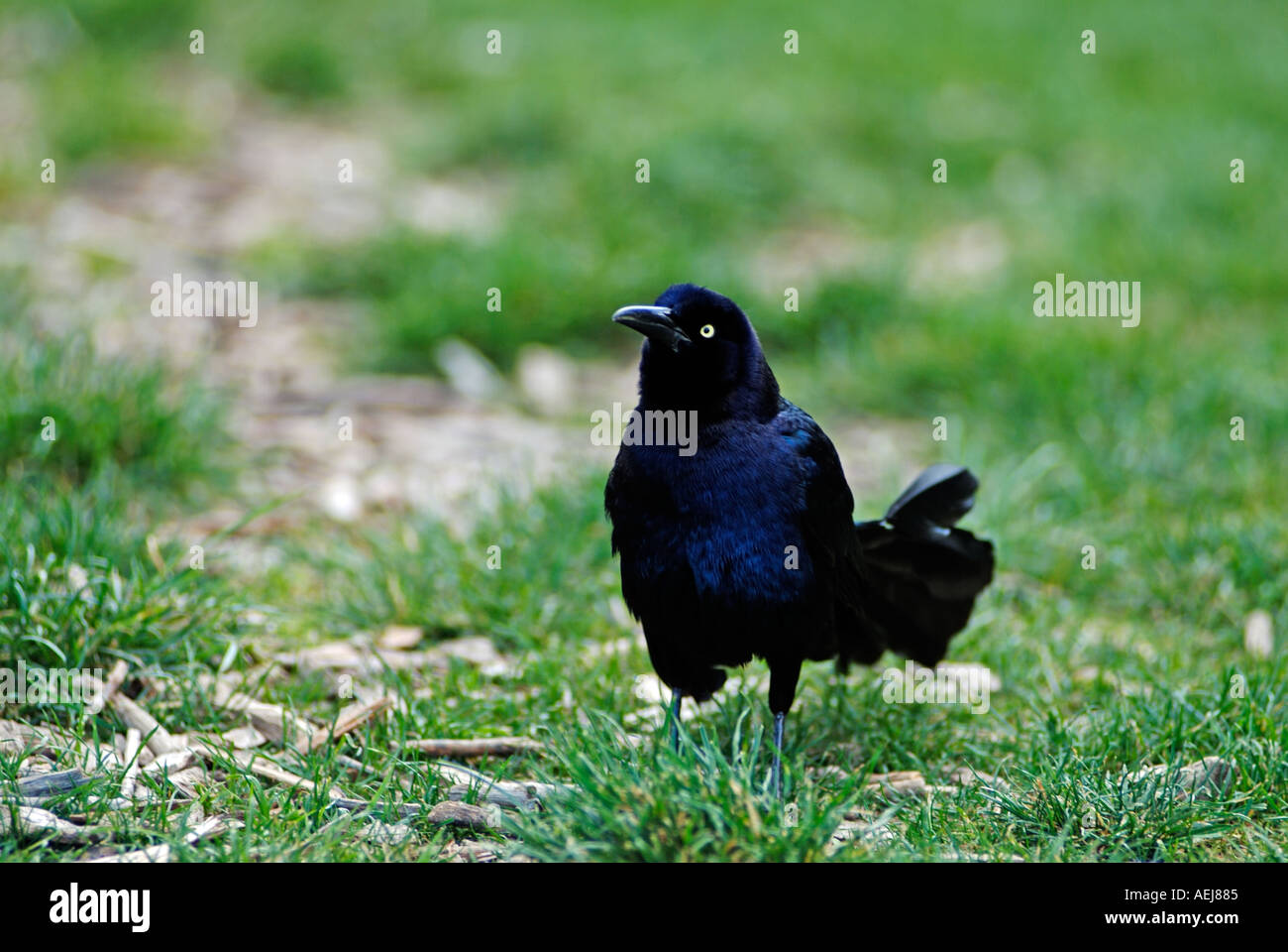 Black raven bird - Stock Image