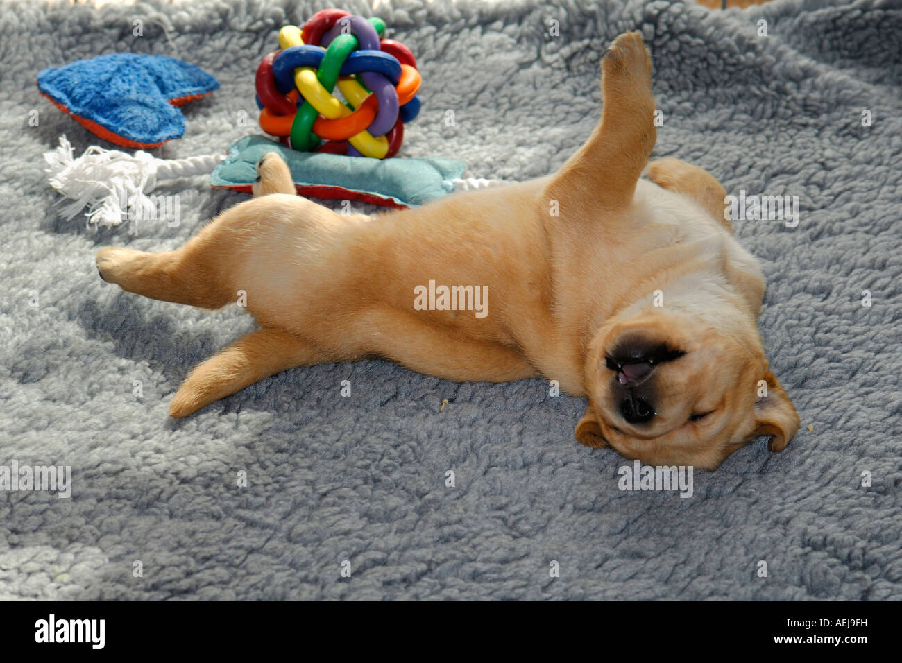 Sleeping puppy, yellow Labrador Retriever - Stock Image