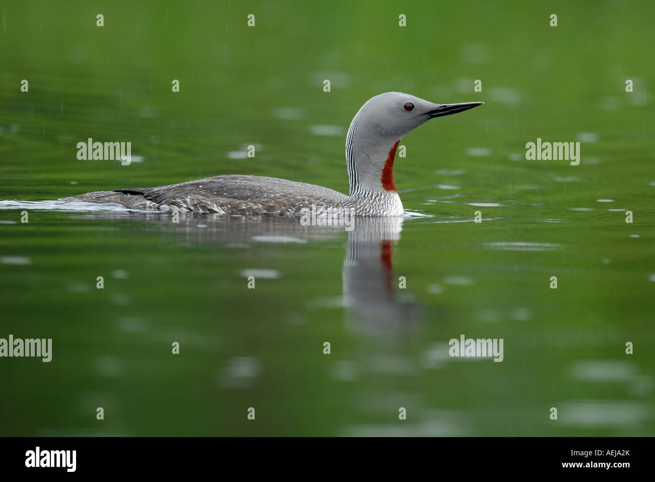 Red-throated Diver (Gavia stellata), swimming, drizzle - Stock Image