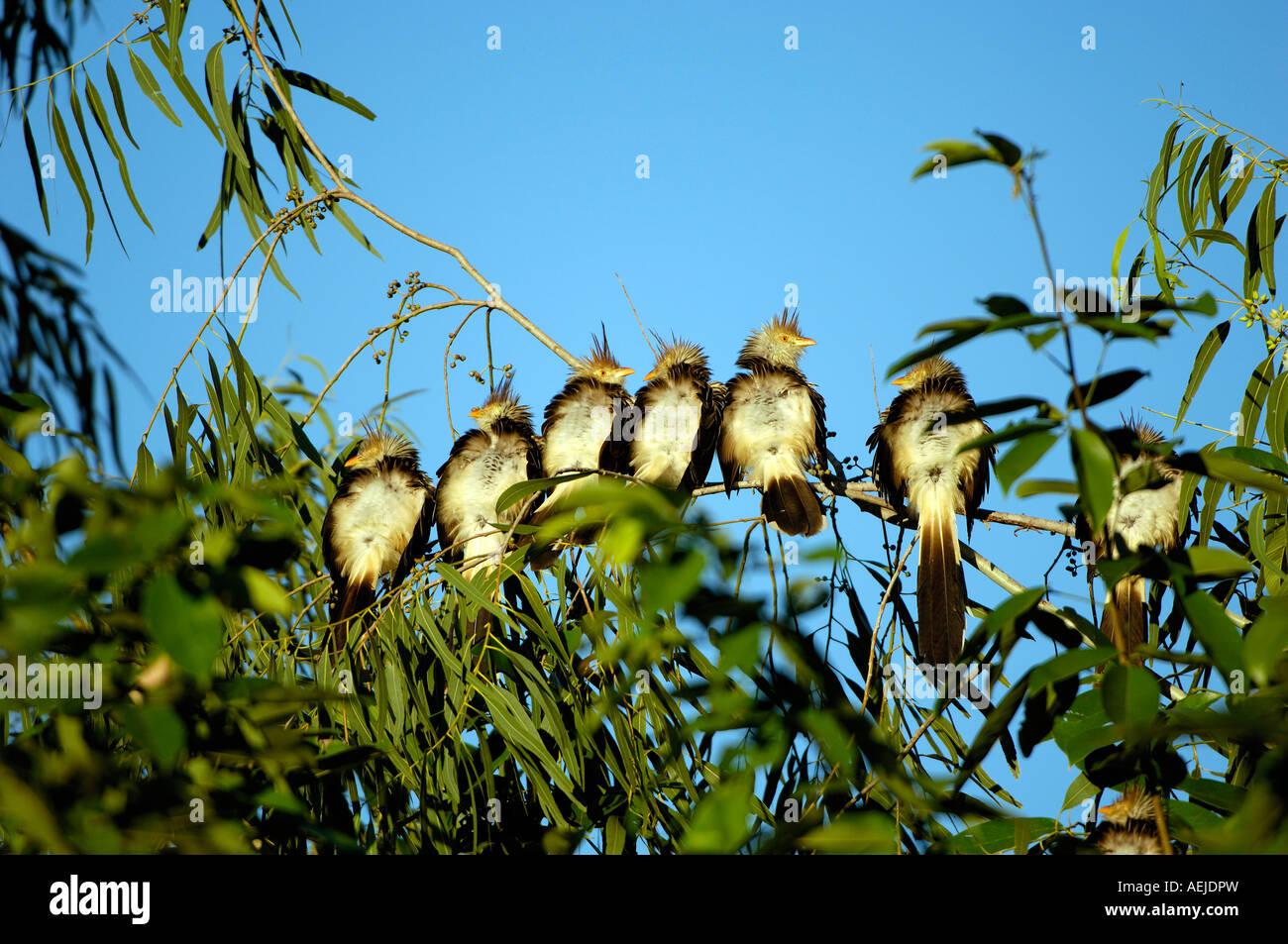 Cuckoo, Guira guira, Pantanal, Brasil - Stock Image