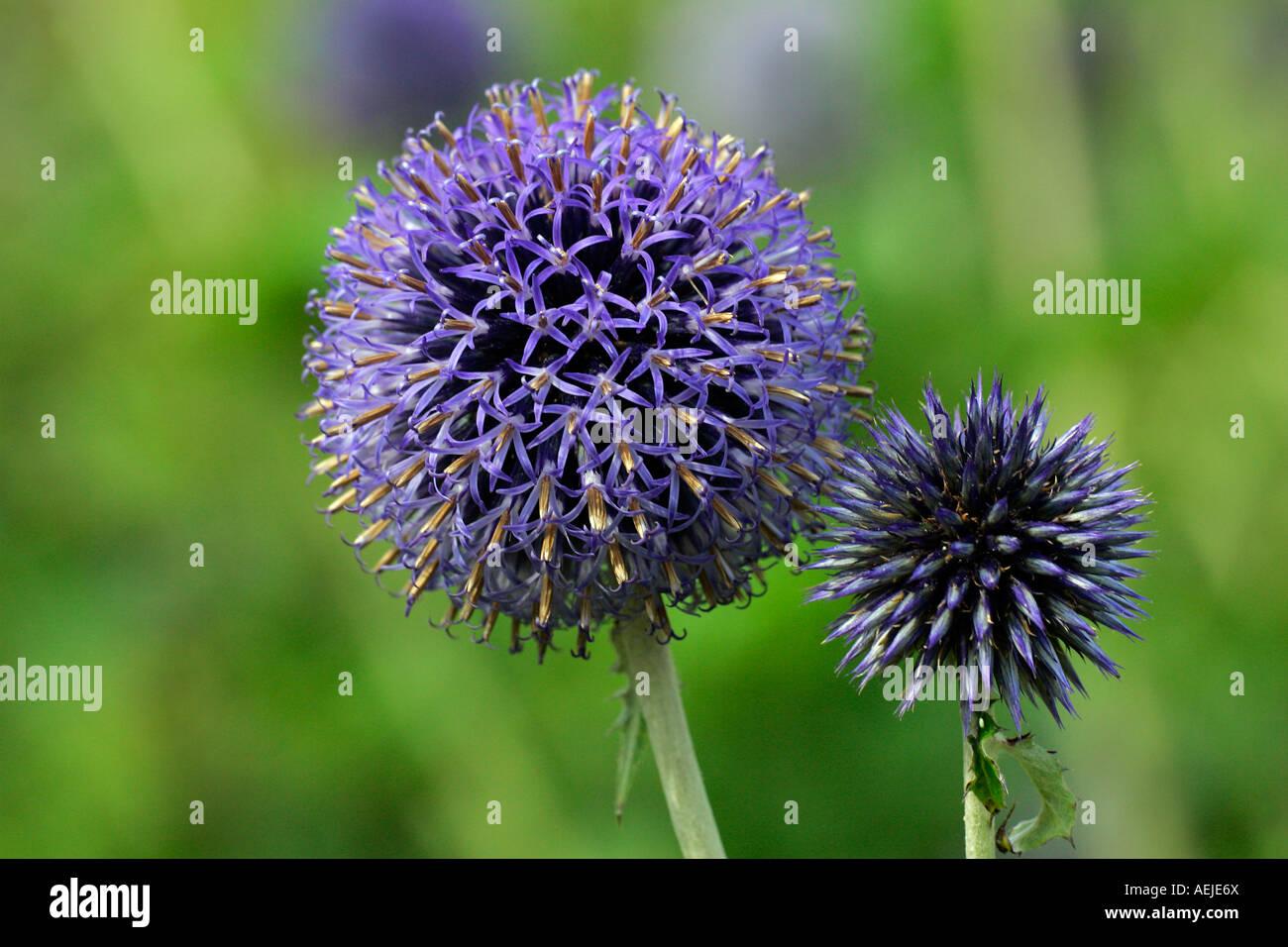 Flowering Blue Globe Thistle (Echinops bannaticus Taplow Blue) - Stock Image