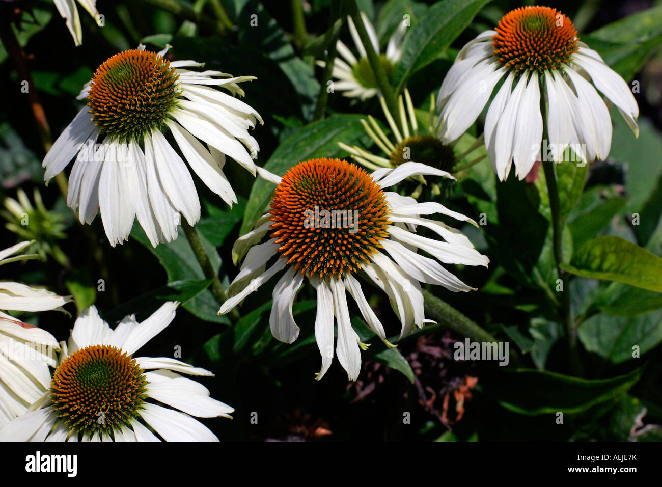 Flowering purple cone flower cultivar Alba (Echinacea purpurea Alba) - Stock Image