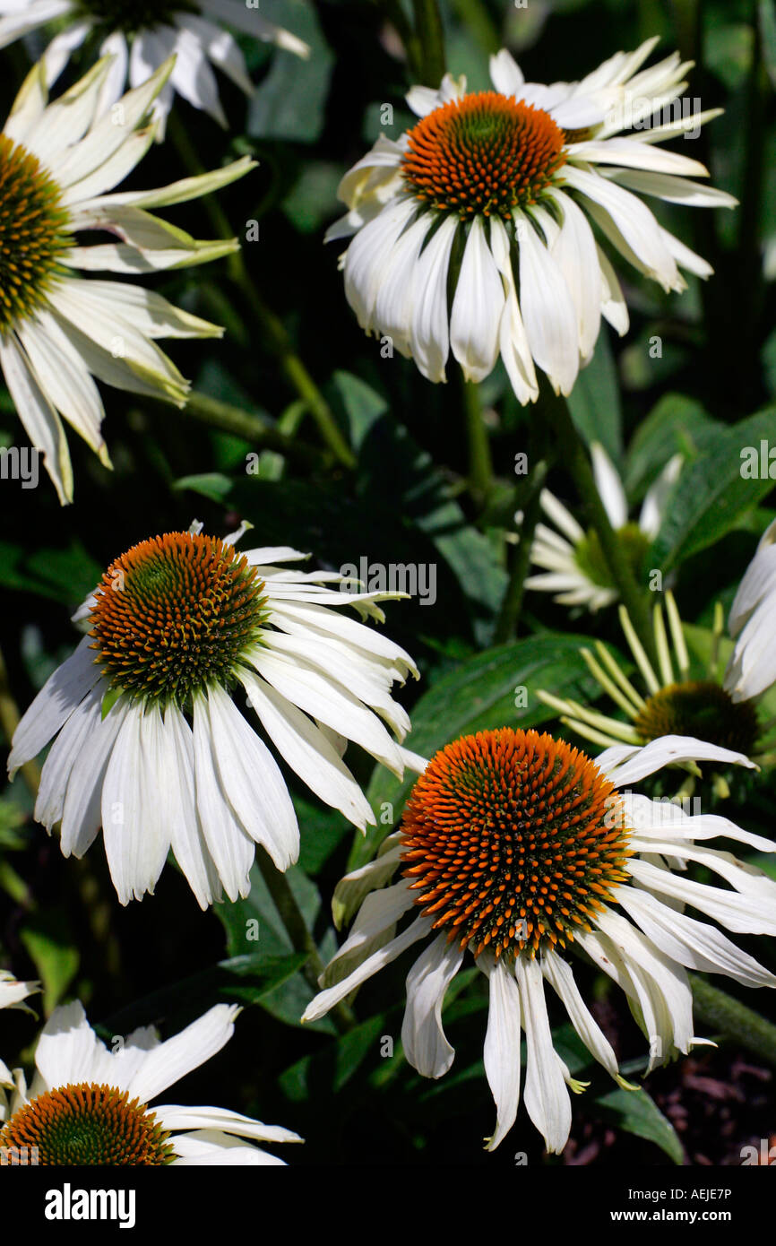 Flowering purple cone flower cultivar Alba (Echinacea purpurea Alba) Stock Photo
