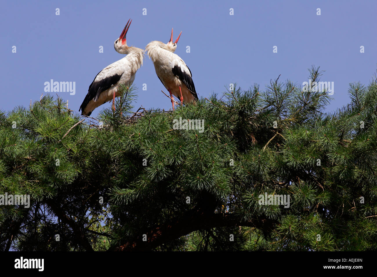 White stork - a pair of white storks nesting on a tree (Ciconia ciconia) Stock Photo