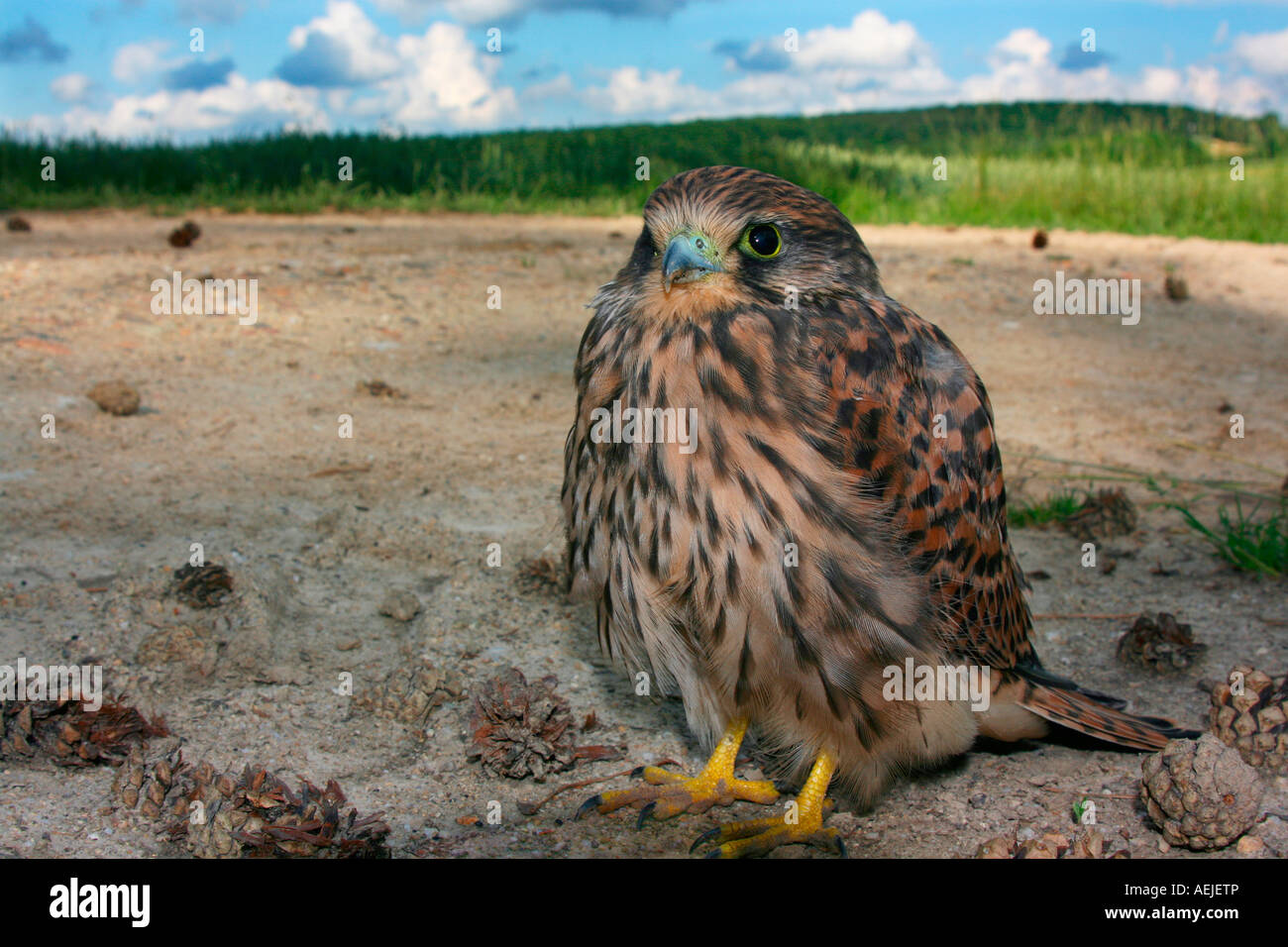 Young kestrel Falco tinnunculus sitting on a forest track - Stock Image