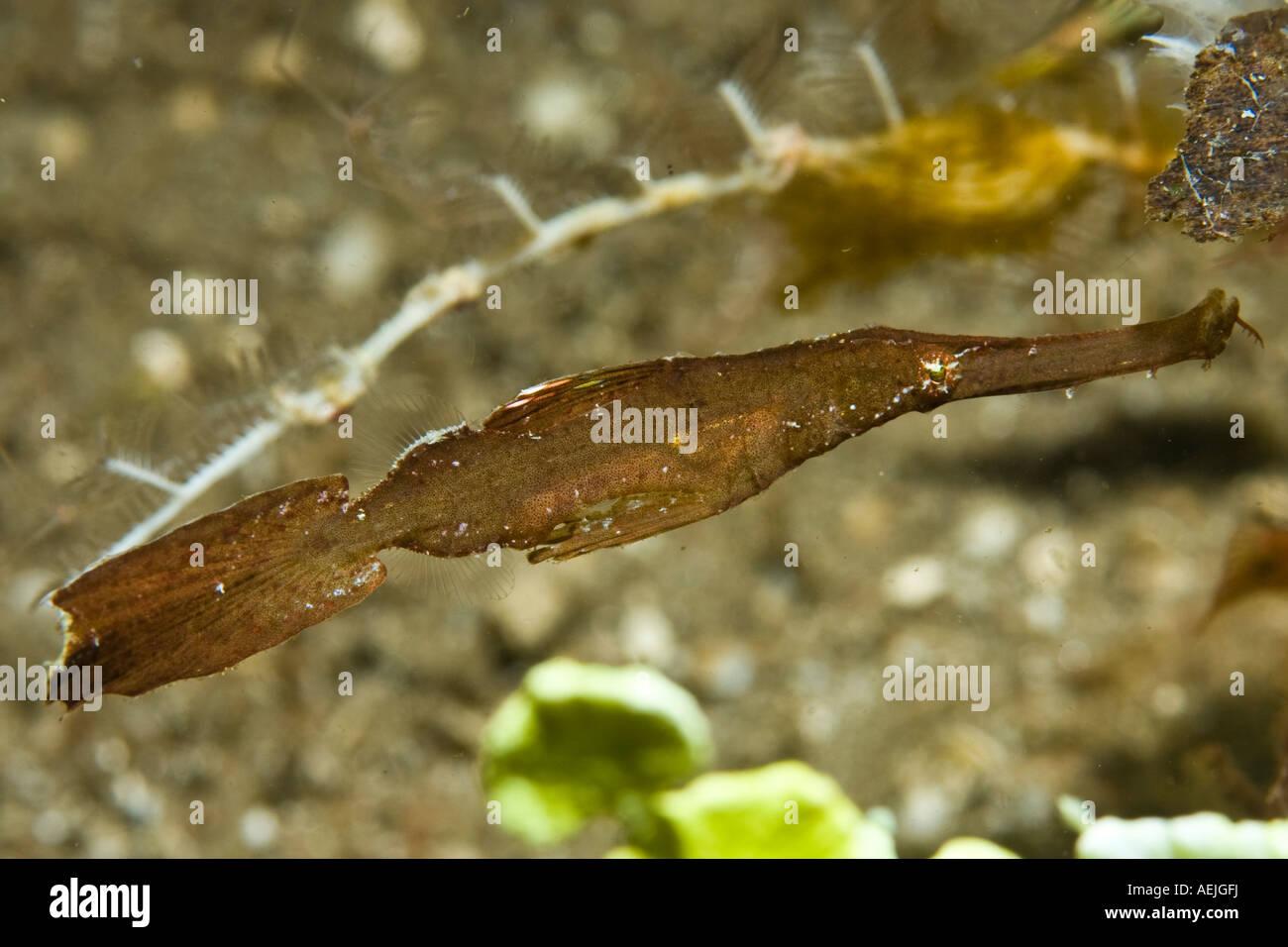 Ghost Pipefish, Solenostomus cyanopterus. - Stock Image