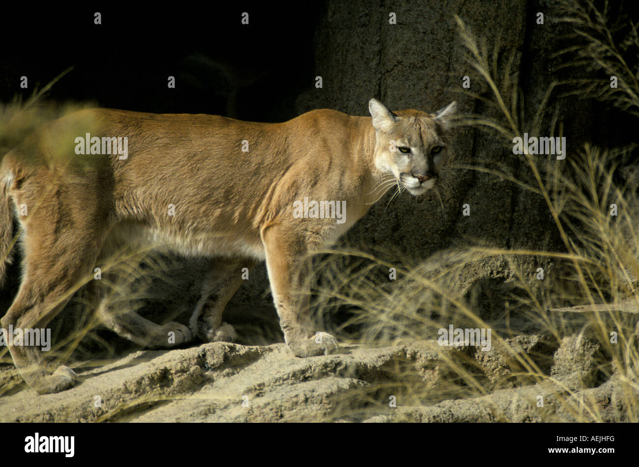 A mountain lion or couger also called a puma Felis concolor on an outcrop of rock in the mountains of central Arizona Stock Photo