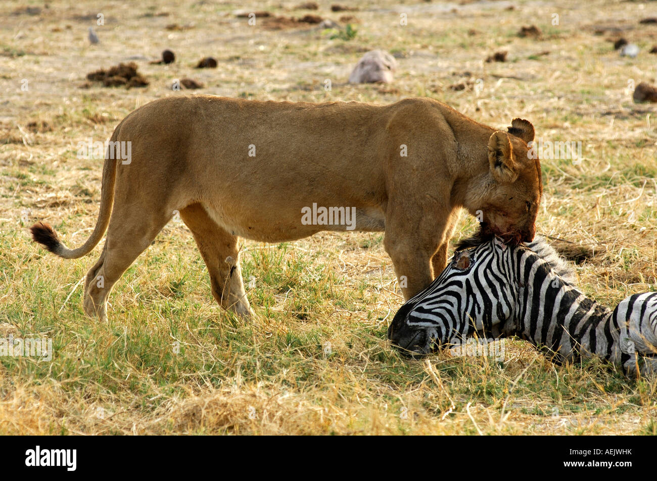 Lioness at a Zebra kill, Savuti Narional Park, Botswana Stock Photo
