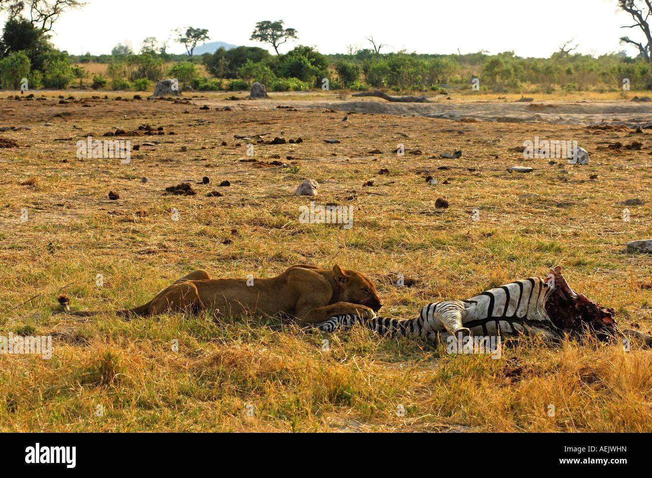 Lioness at a Zebra kill, Savuti Narional Park, Botswana Stock Photo