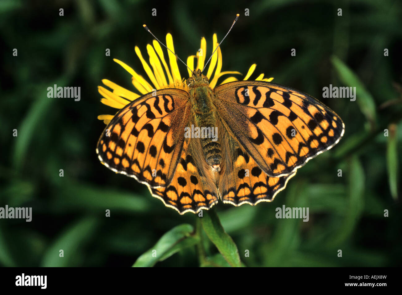 High Brown Fritillary (Fabriciana adippe) - Stock Image