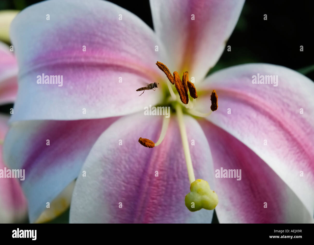 Lily flower with fly Stock Photo