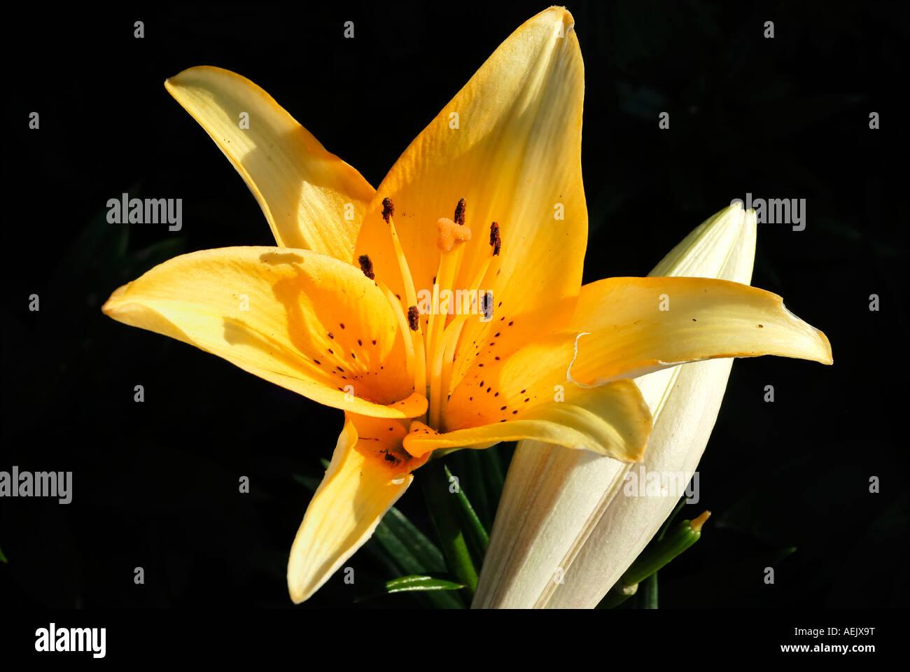 Lily flower, lilia hybride Stock Photo