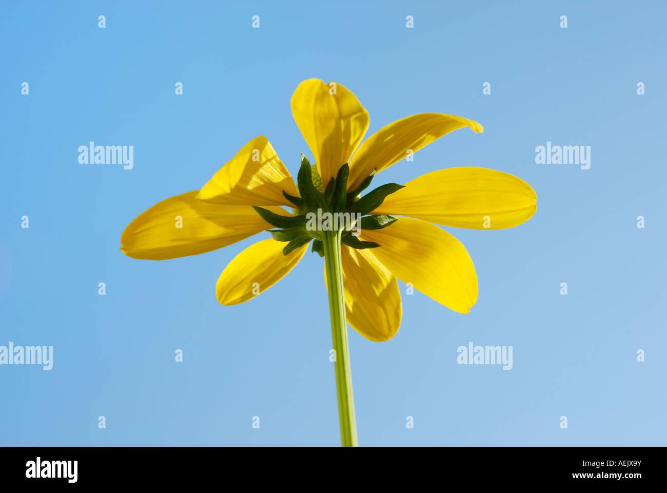 Singular flower of Rudbeckia nitida, Compositaceae Stock Photo