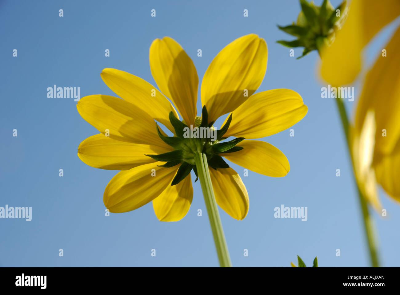 Yellow flowers of rudbeckia nitida, Asteraceae Stock Photo
