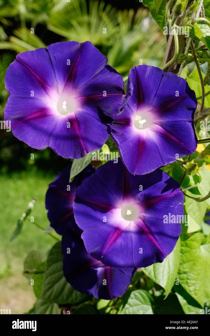 Purple blue flowers of Ipomeae violacea, Convolvulariaceae in bright sunshine Stock Photo