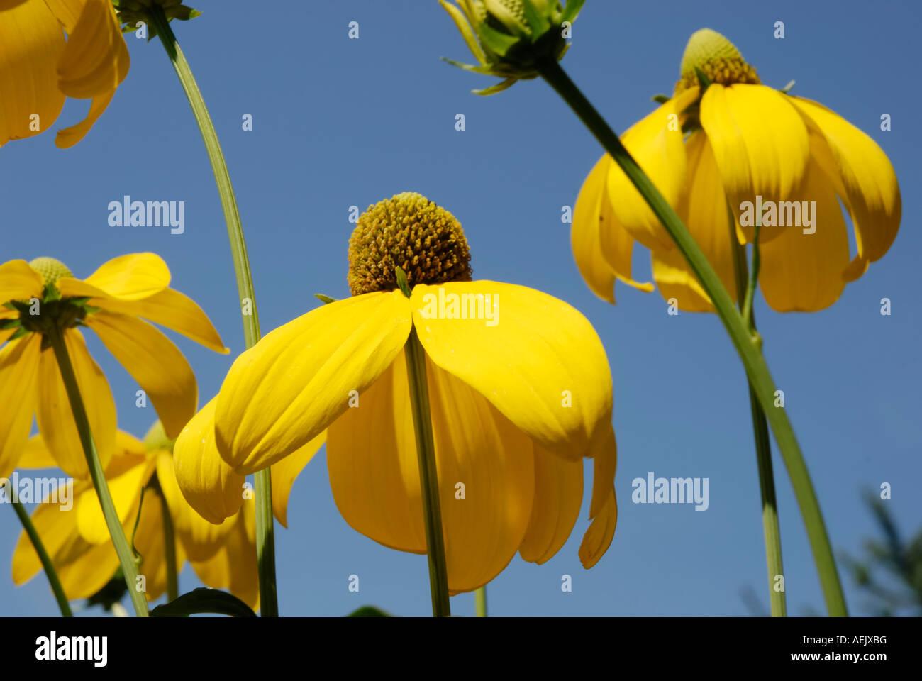 Flowers of rudbeckia nitida, Astereaceae Stock Photo