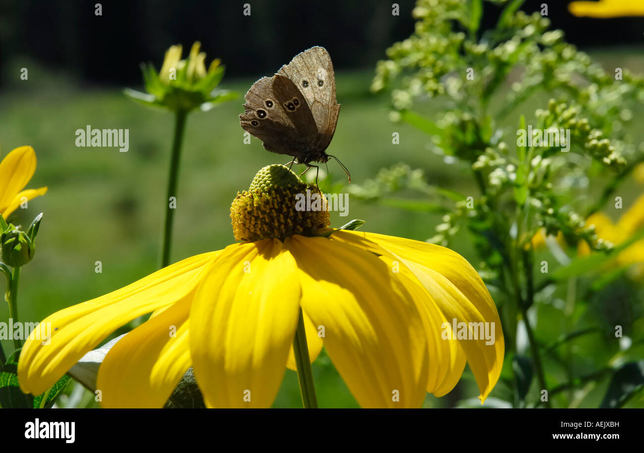 Brown endemic butterfly sibbing from nectar of rudbeckia nitida flower Stock Photo