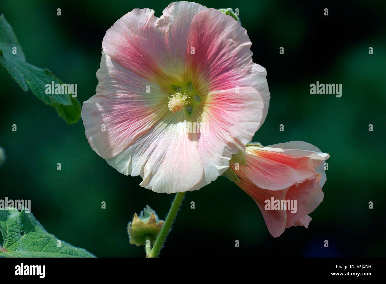 Flowering Hollyhock (Alcea rosea) Stock Photo
