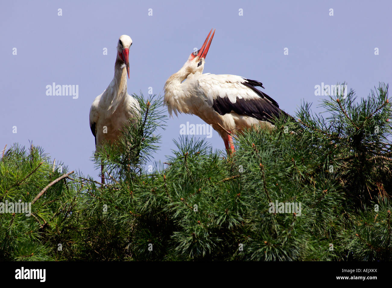 White stork - a pair of white storks nesting in a tree (Ciconia ciconia) Stock Photo
