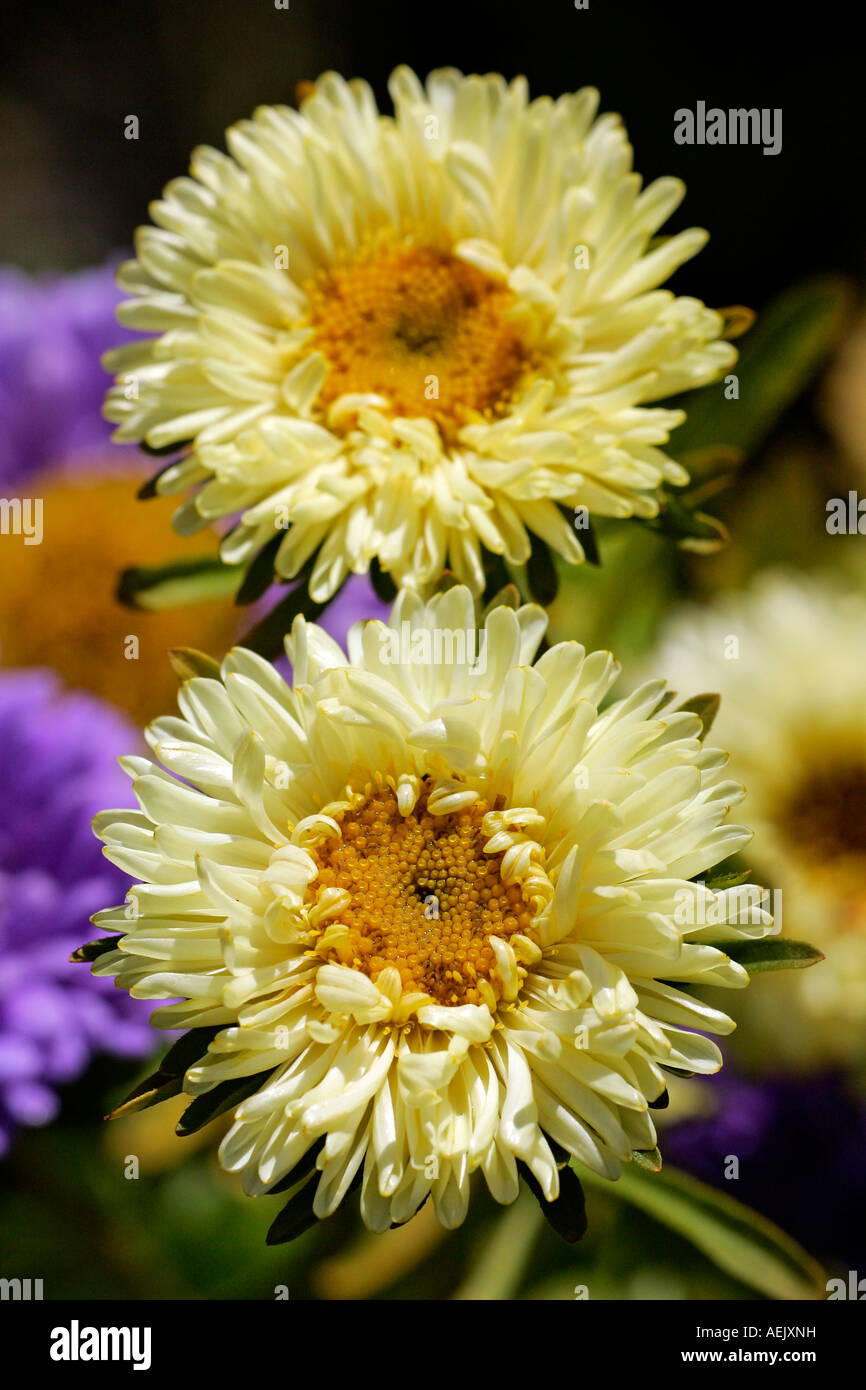 Flowering china aster - blossoms close up (Callistephus chinensis) - Stock Image