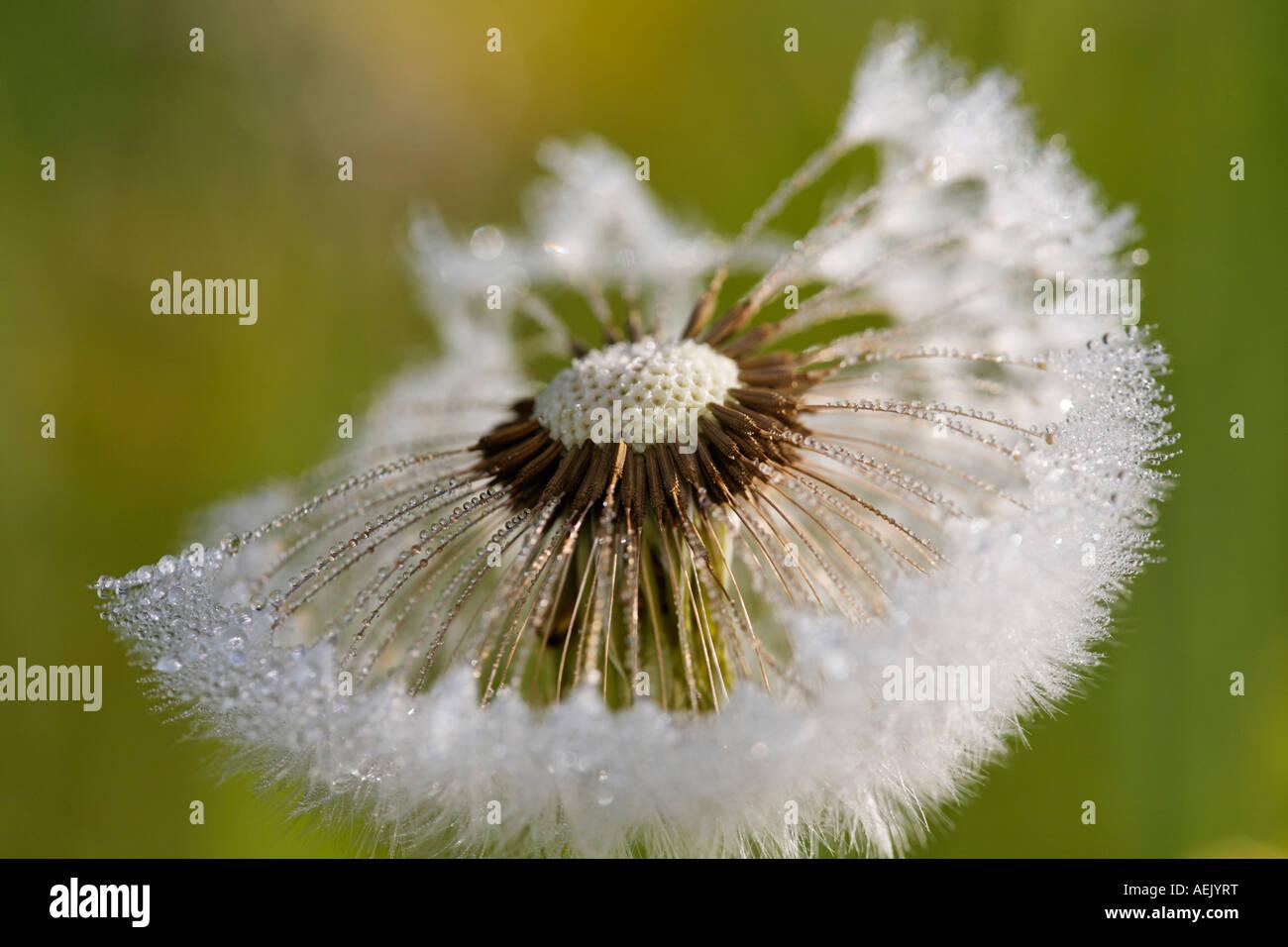 Seedhead clock dandelion, Taraxacum officinale - Stock Image