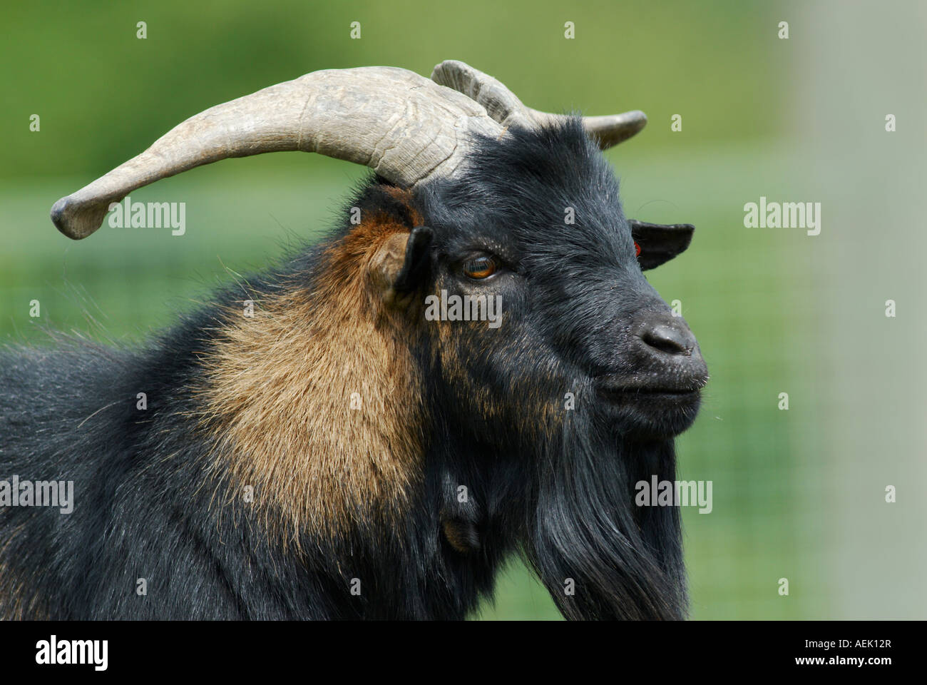 Male goat west african pygmy goat Stock Photo - Alamy