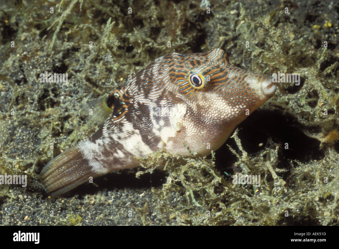 Whitebelly Toby night colors Canthigaster bennetti Lembeh Straits Indonesia Stock Photo