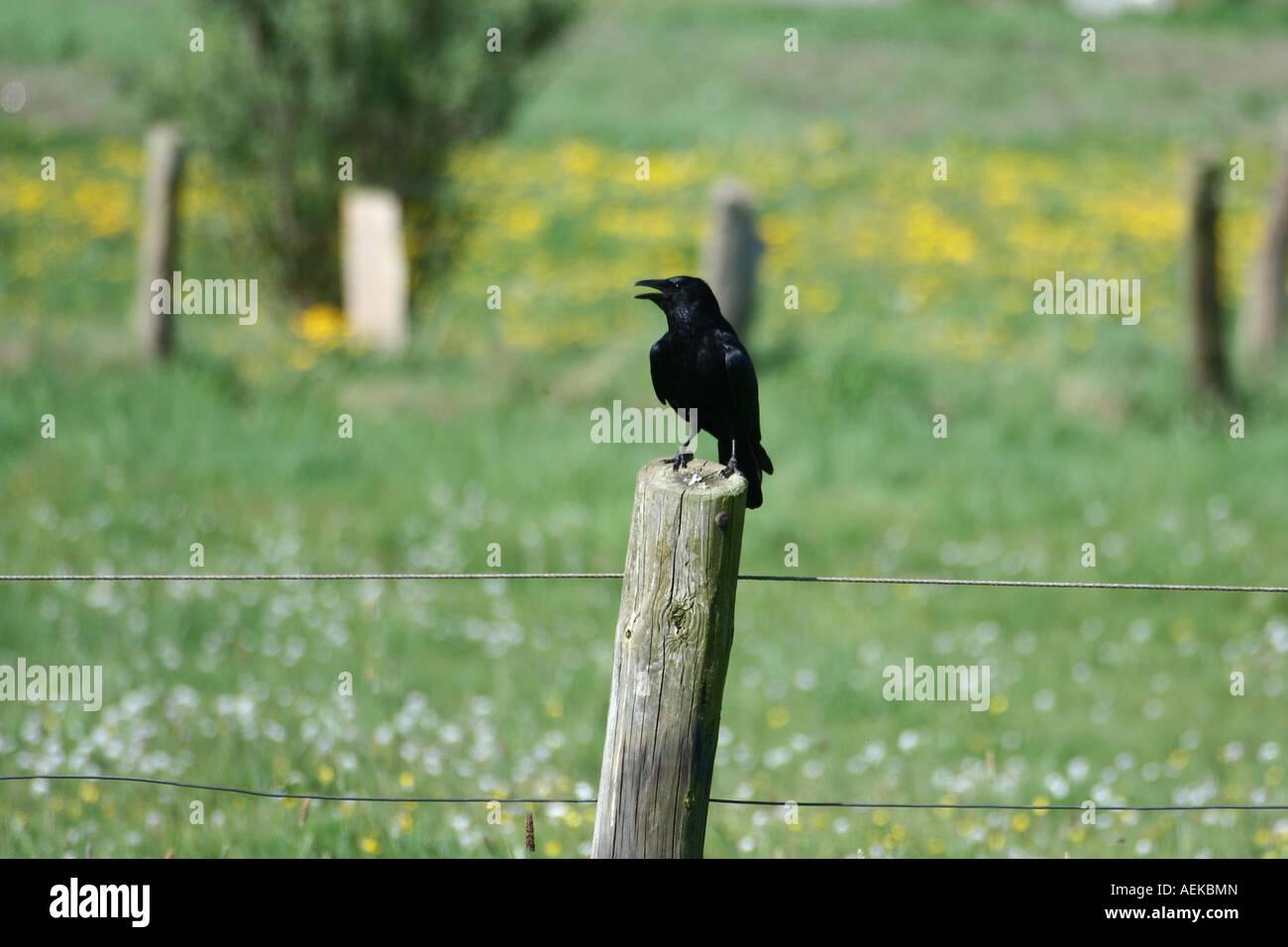 crow (passerine bird) - corvus - Stock Image