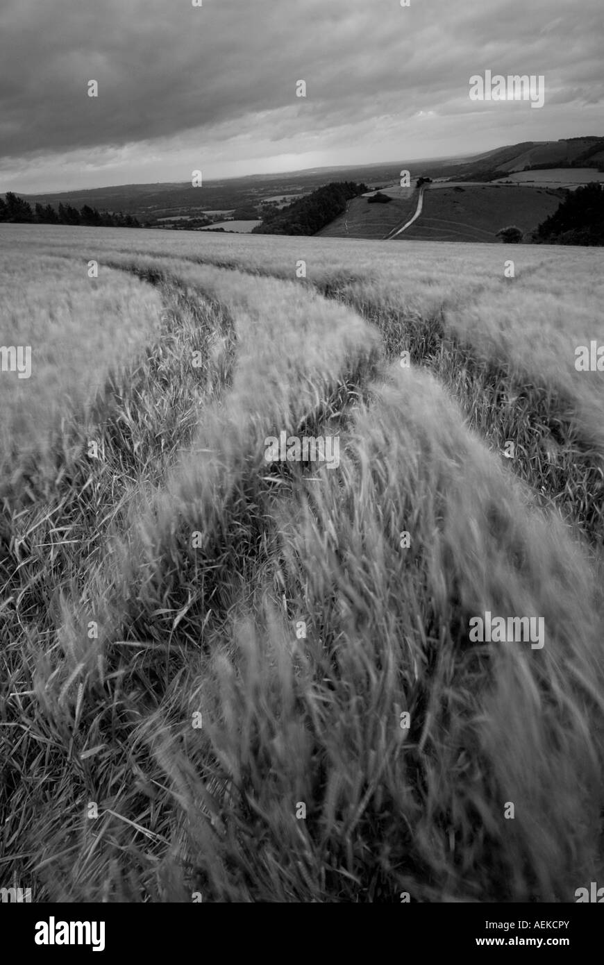 Wheat field in Sussex - Stock Image
