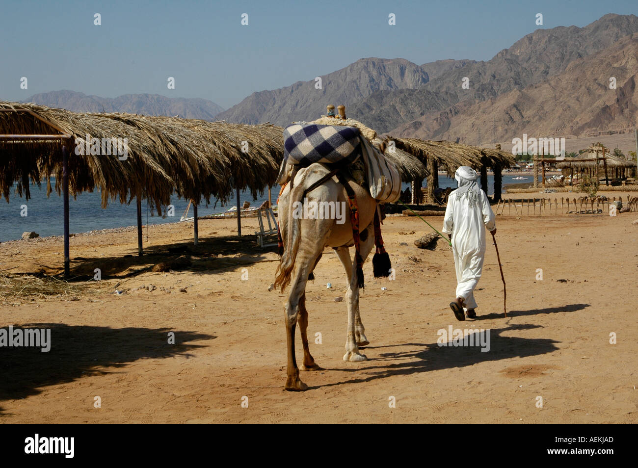 Bedouin native walking with his camel in Nuweiba also spelled: Nueiba a coastal town in the eastern part of Sinai Peninsula, Egypt - Stock Image