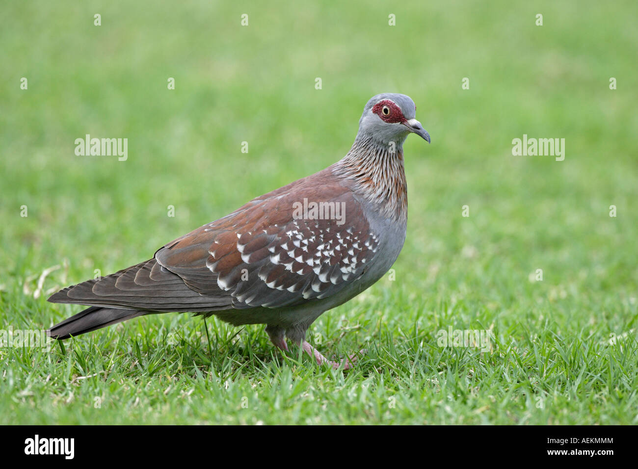 Speckled Pigeon - Stock Image