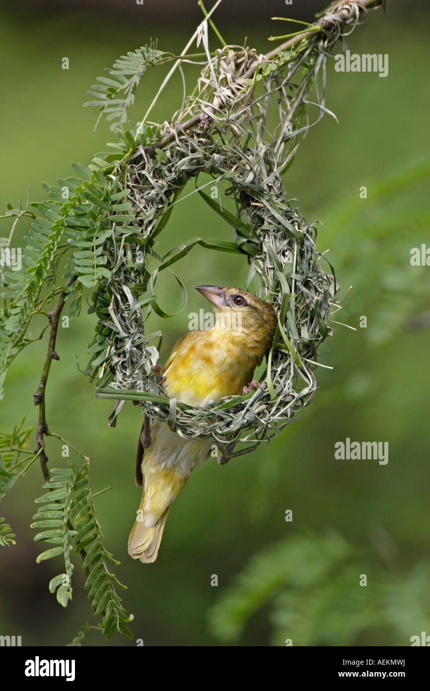 Female Black Headed Weaver Bird Building A Nest Stock Photo