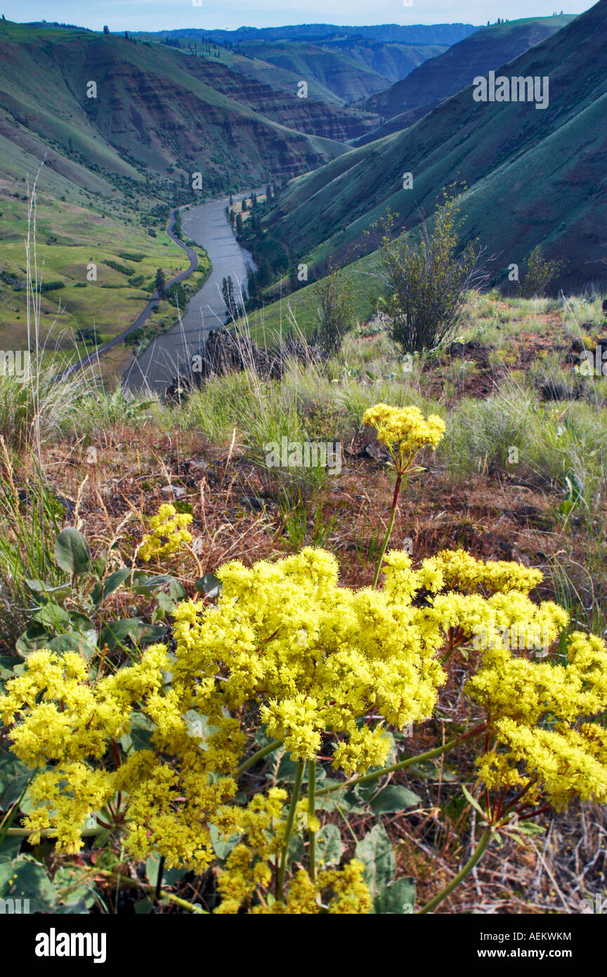 Blooming wildflower and Grande Ronde River Oregon Stock Photo