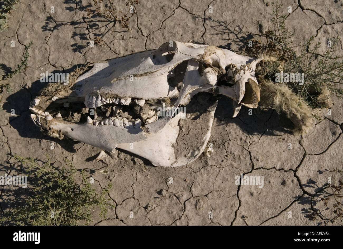76c63630707c Dead horse skull on a dry lake bed Stock Photo: 4476851 - Alamy