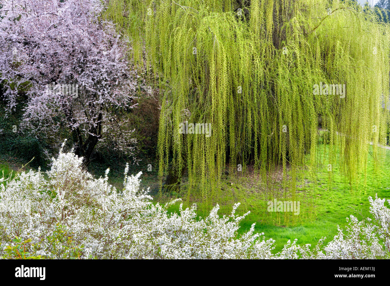 Cherry trees and weeping willow at portland rose gardens portland oregon