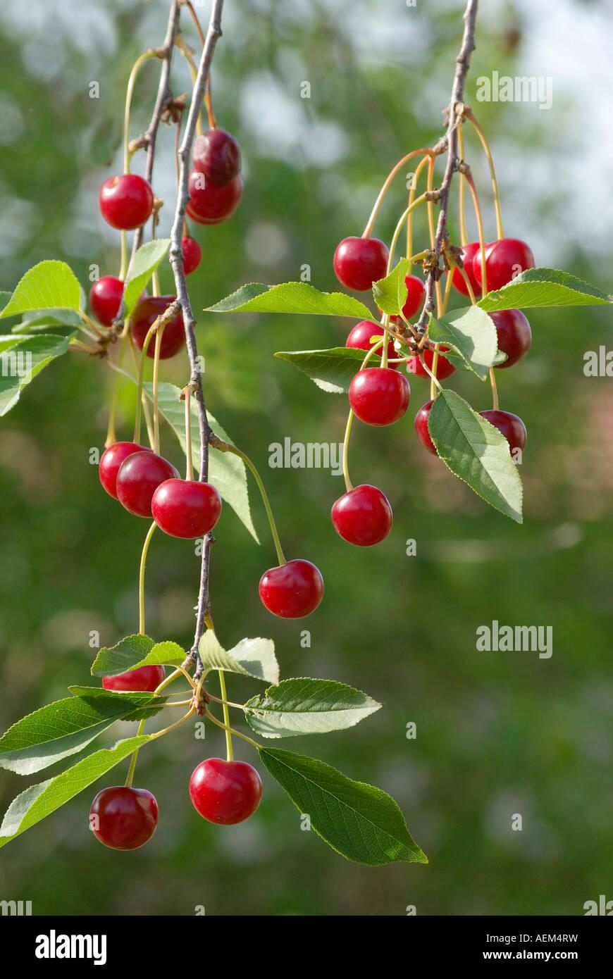 Twig ripe morello. - Stock Image