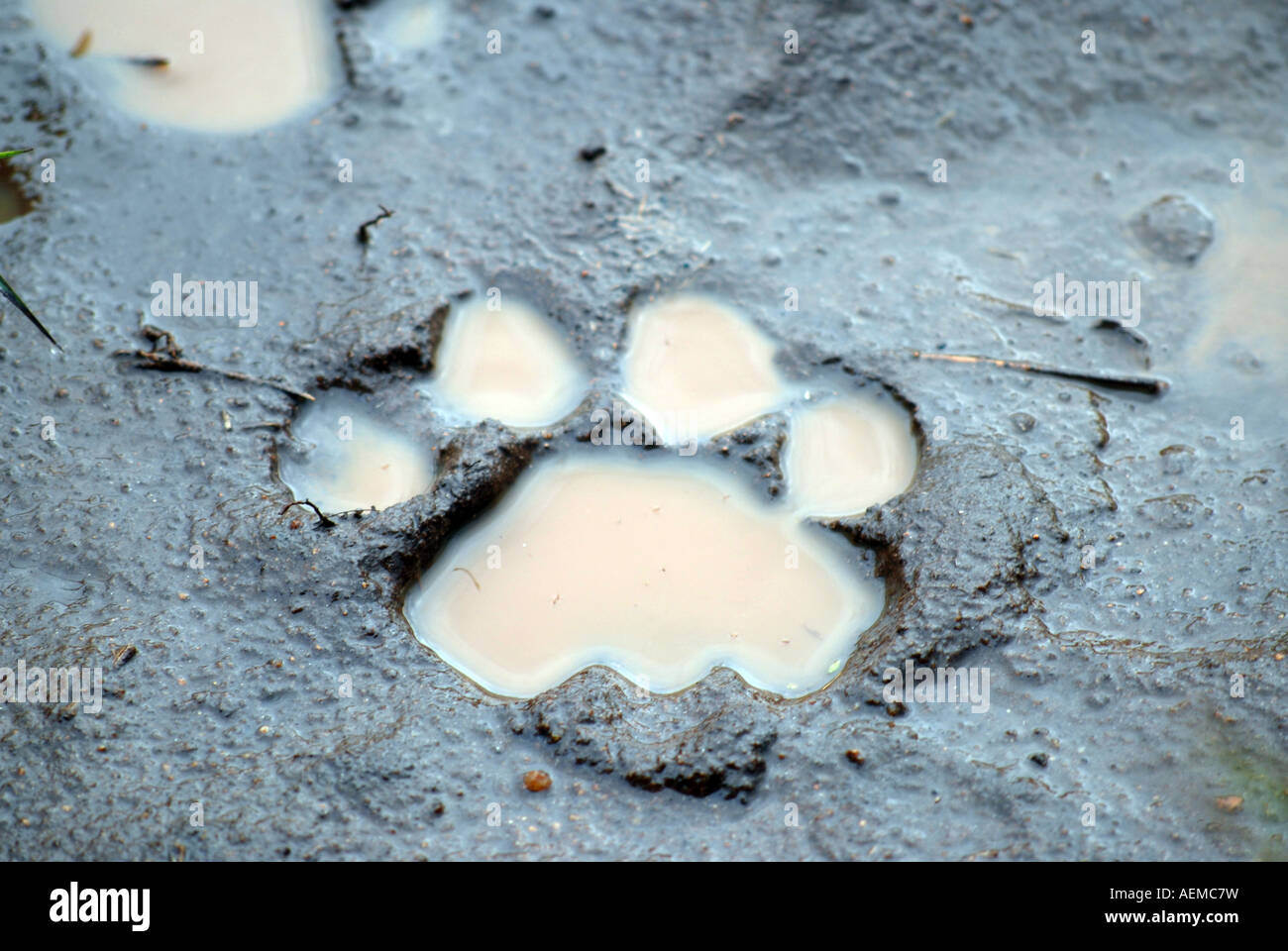 paw print in mud stock photos paw print in mud stock images page