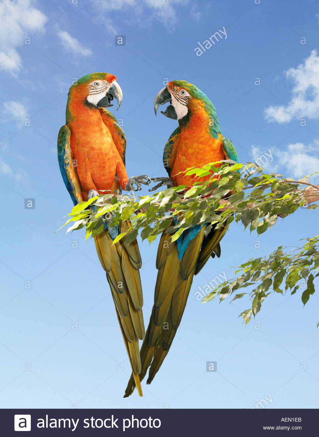 Pair of parrots talking in a tree - Stock Image