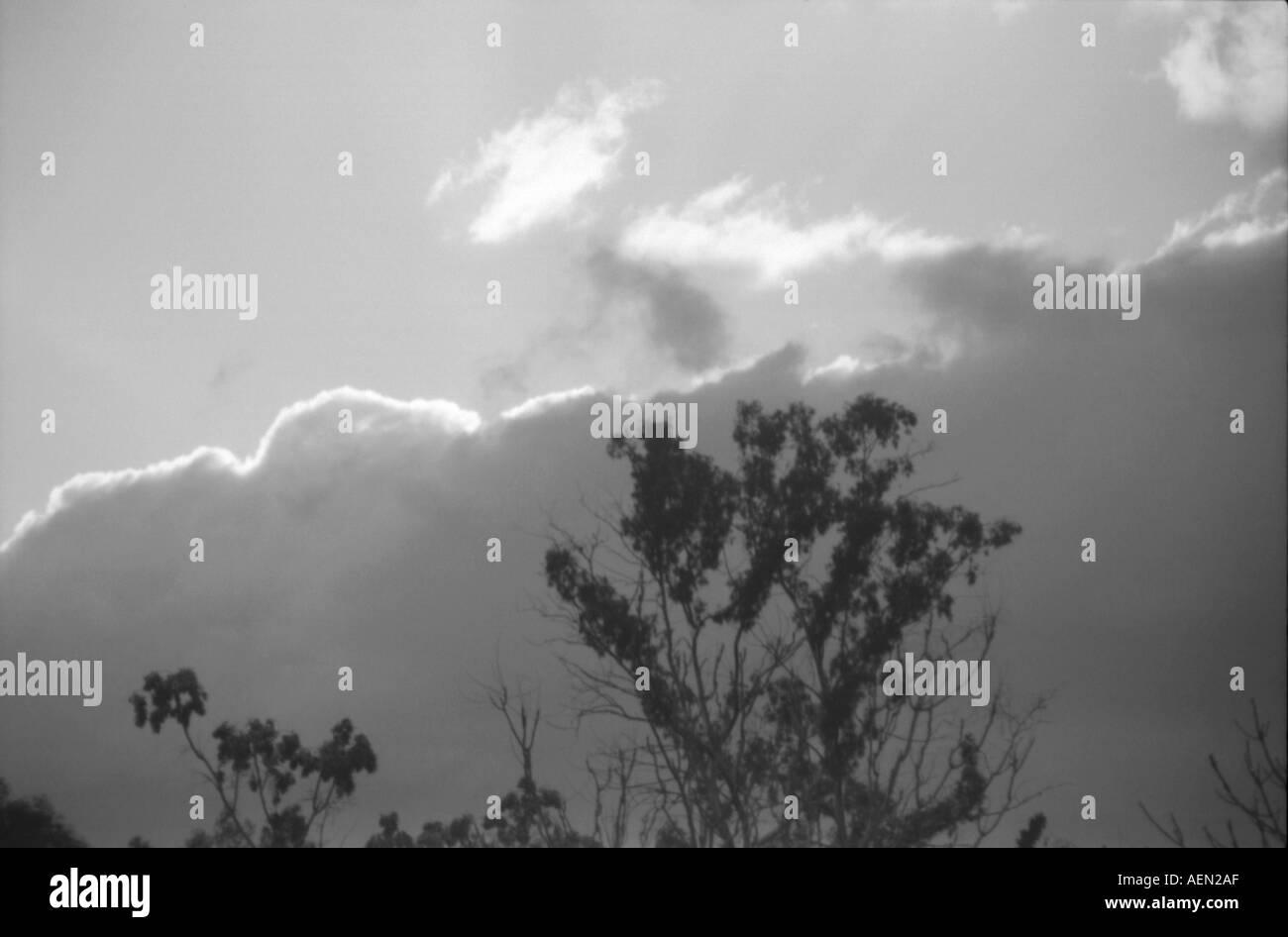 eucalyptus and clouds - Stock Image