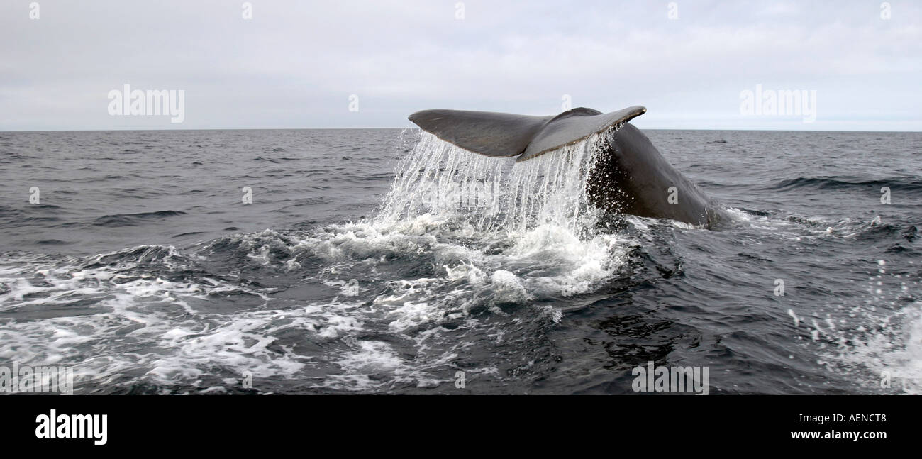 Whale Tail, Sperm Whale diving deep in Trinity Bay, Bonavista Peninsula, Newfoundland, Canada - Stock Image
