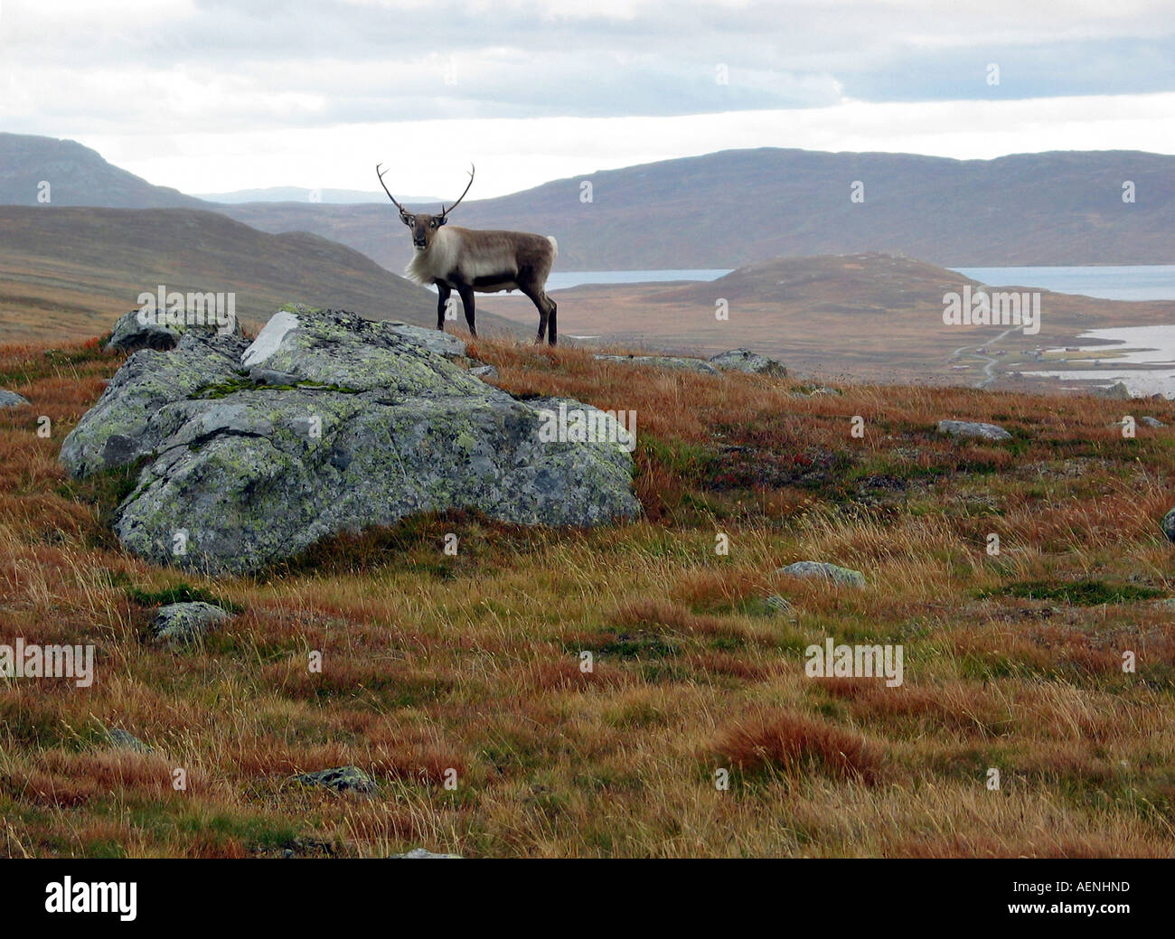 Male Reindeer Stag looking into lens, wildlife watching during Indian summer, Jotunheimen, Norway - Stock Image