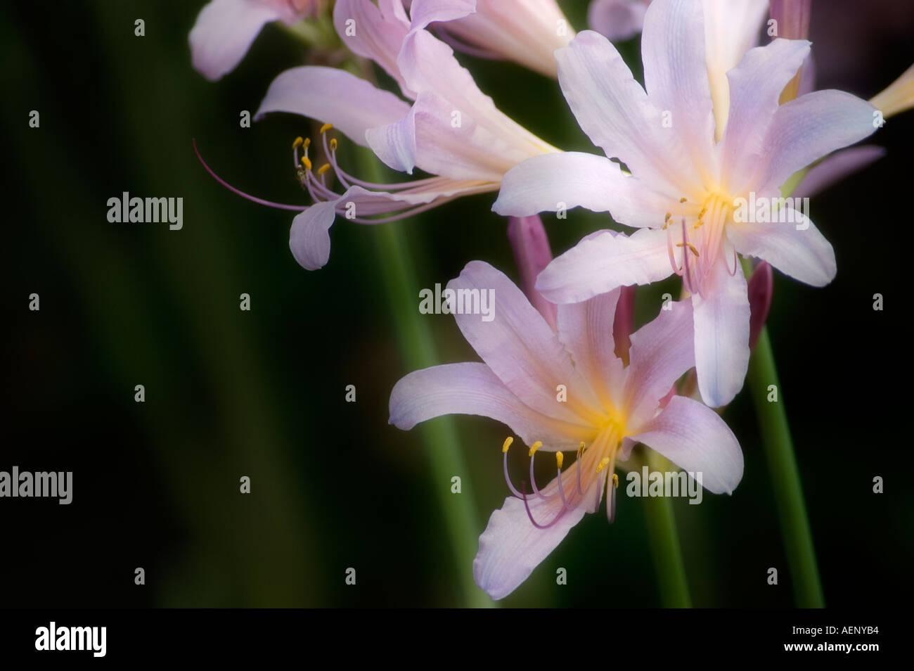 Magic lily stock photo 4482995 alamy magic lily izmirmasajfo
