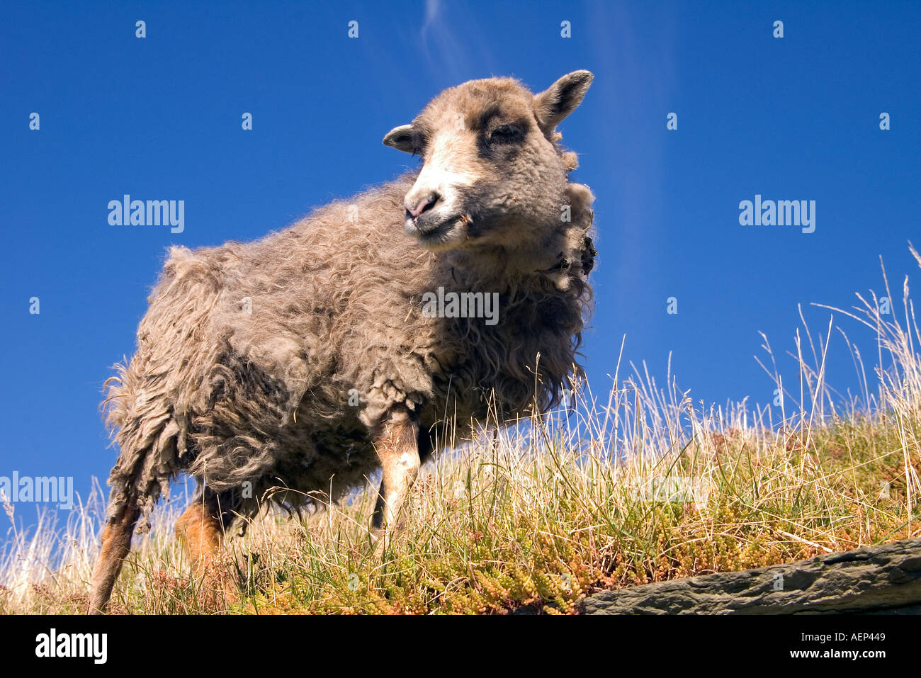 dh Farm Museum CORRIGALL ORKNEY North Ronaldsay sheep on roof to eat turf roof grass Stock Photo