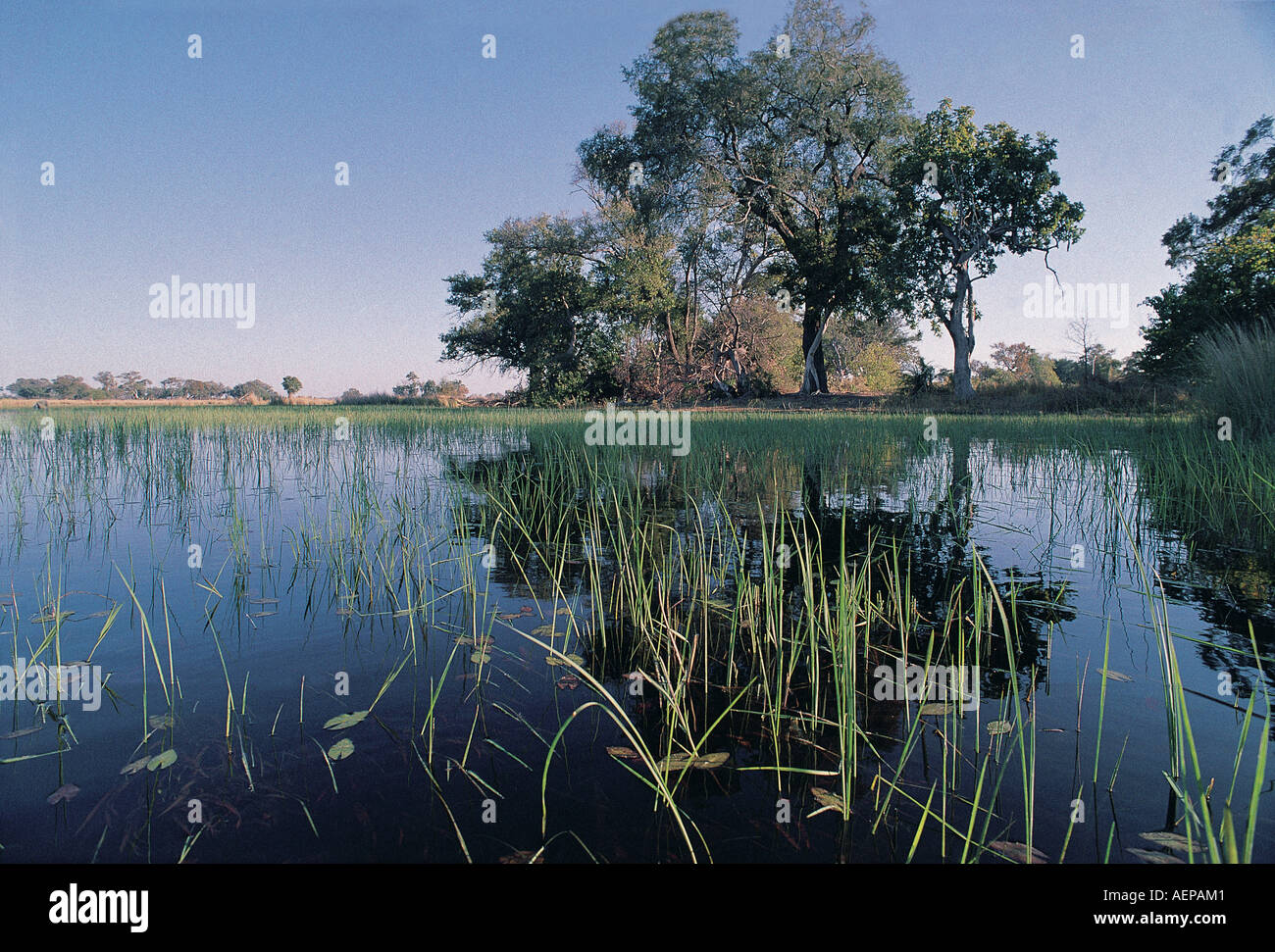 A beautiful water scape of still water reeds and trees near Chief s Island in the Okavango Delta Botswana southern Africa - Stock Image