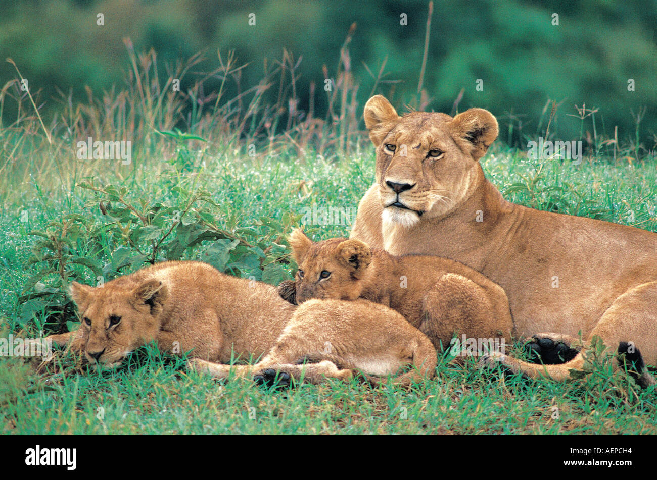 A lioness with two cubs resting in the Masai Mara National Reserve Kenya East Africa - Stock Photo