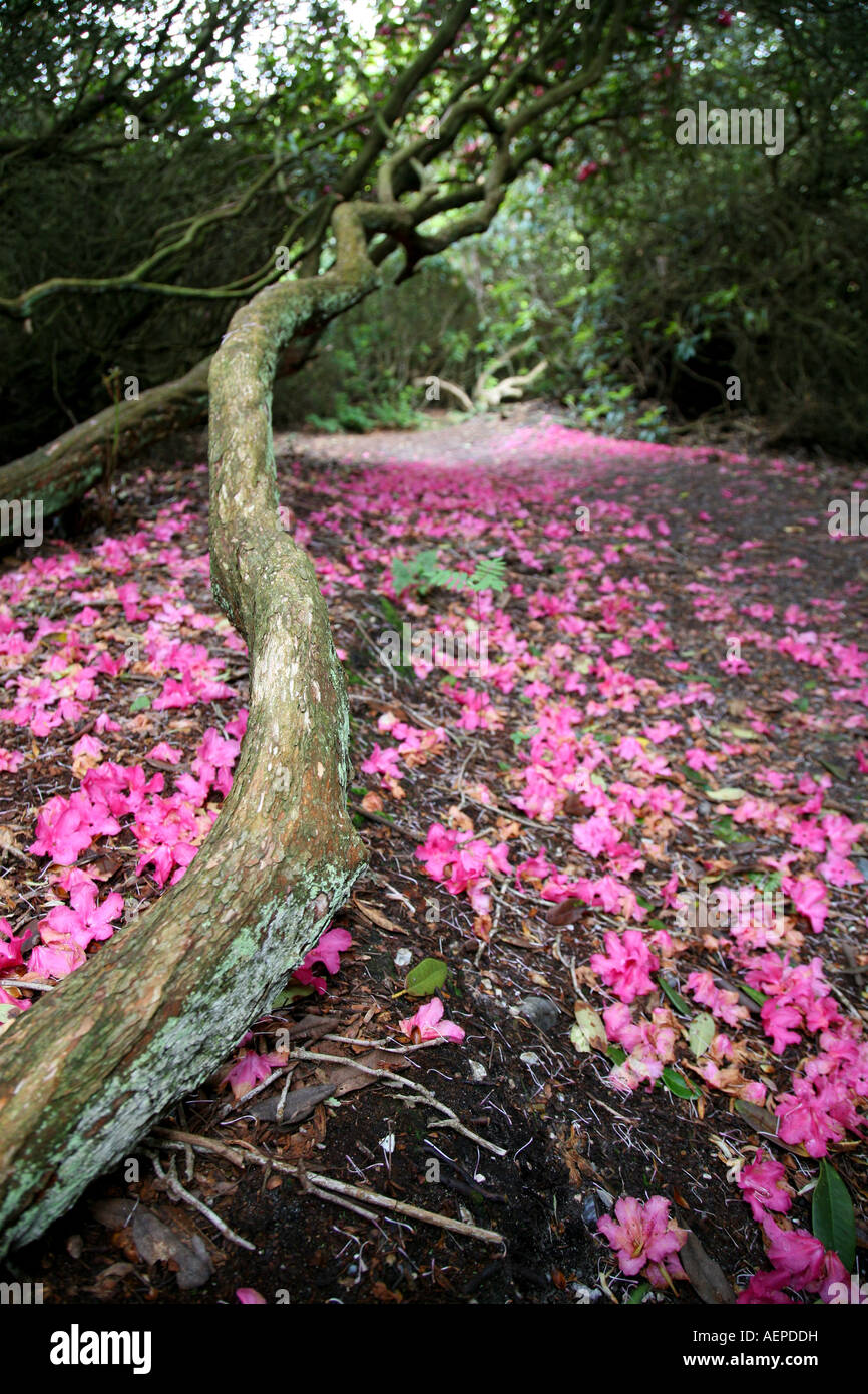 Carpet of fallen pink rhododendron flowers and tree trunk carpet of fallen pink rhododendron flowers and tree trunk sheringham park norfolk england mightylinksfo