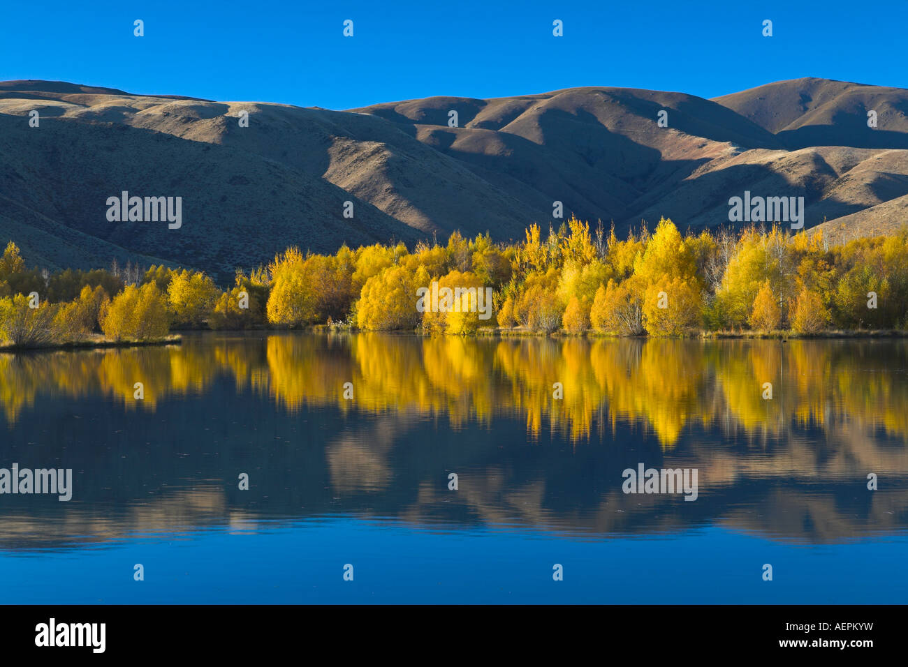 Intense golden foliage along a lakeside near Twizel, South Island, New Zealand - Stock Image