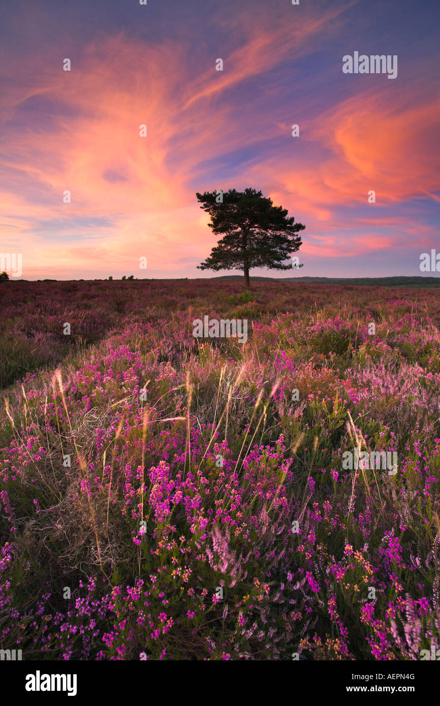 Summer evening on the heather carpeted heathland of the New Forest National Park - Stock Image