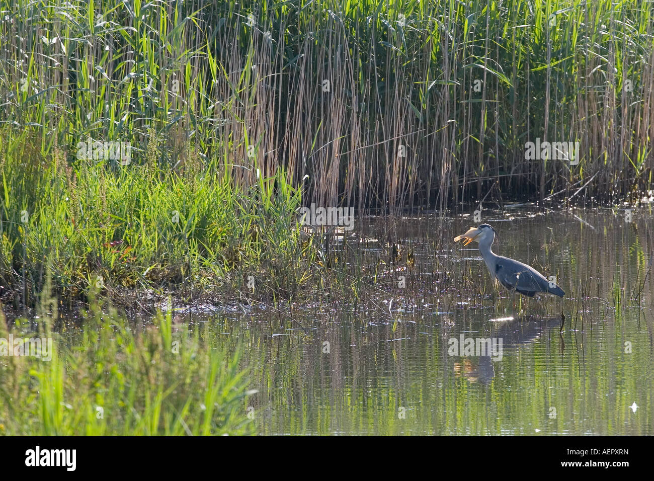 Grey Heron Fishing in Reed Bed Teifi Marshes Cilgerran Pembrokeshire West Wales  UK Stock Photo